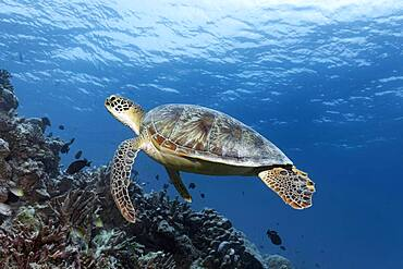 Green turtle (Chelonia mydas) or green turtle, swimming over coral reef, Andaman Sea, Mu Ko Similan National Park, Similan Islands, Phang Nga Province, Thailand, Asia
