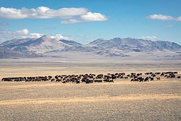 Landscape, herd of cattle, Altai, Mongolia, Asia