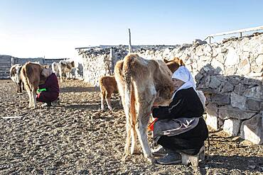 Nomads in the Altai Mountains, milking cows, Olgii Province, Mongolia, Asia