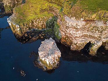 Aerial view of n (Morus bassanus) on the breeding rock Langanes with coast, Langanesbyggo, Norourland eystra, Iceland, Europe