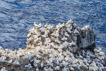 Northern gannet (Morus bassanus) on the breeding rock Langanes, Langanesbyggo, Norourland eystra, Iceland, Europe