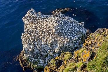 Northern gannet (Morus bassanus) on the breeding rock Langanes with yellow lichens on rocks, Langanesbyggo, Norourland eystra, Iceland, Europe