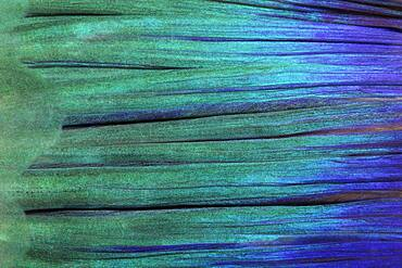 Detail of tail fin, parrot fish (Scarus), Pacific, Great Barrier Reef, UNESCO World Heritage, Australia, Oceania