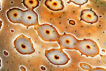 Detail of Eye patch sea cucumber (Bohadschia argus), Pacific, Great Barrier Reef, Australia, Oceania