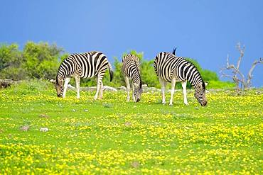 Burchells Zebras (Equus quagga burchellii) are grazing. Etosha National Park, Namibia, Africa