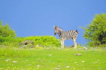 Burchells Zebra (Equus quagga burchellii) in Etosha National Park, Namibia, Africa