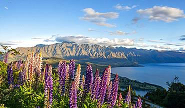 Purple Large-leaved lupins (Lupinus polyphyllus) The Remarkables and Lake Wakatipu, Ben Lomond Scenic Reserve, Queenstown, Otago, New Zealand, Oceania