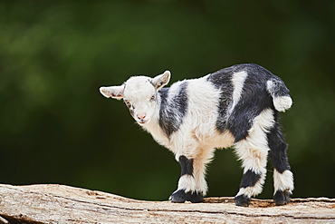 Domestic goat (Capra aegagrus hircus), kid, standing on a stone, Germany, Europe