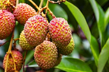 Organic lychee in orchard in Beau Bassin, Republic of Mauritius