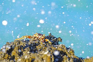 Crab (Grapsus albolineatus), holds onto a sharp cliff. Zanzibar, Tanzania, Africa