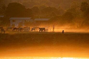 Cattle herd against the light at the Irrawaddy River, Mingun, Myanmar, Asia