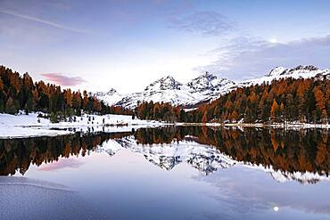 Autumnal larches with snow-covered mountain peaks are reflected in Lake Staz, Lej da Staz, St. Moritz, Engadin, Grisons, Switzerland, Europe