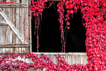 Boston ivy (Parthenocissus tricuspidata) hanging from an old wooden door, Weiz, Austria, Europe