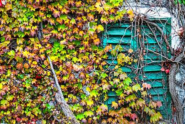 Boston ivy (Parthenocissus tricuspidata) and ivy (Hedera) growing over old window beams, Weiz, Austria, Europe