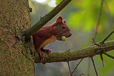 Eurasian red squirrel (Sciurus vulgaris) with acorn in its mouth, Schleswig-Holstein, Germany, Europe