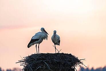 White stork, stork nest in the evening light, pair, Ciconia ciconia, Luetzelsee, Canton Zurich, Switzerland, Europe