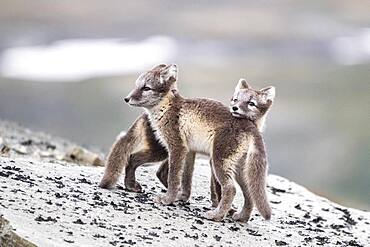 Young arctic foxes (Vulpes lagopus) playing, Dovrefjell-Sunndalsfjella National Park, Norway, Europe