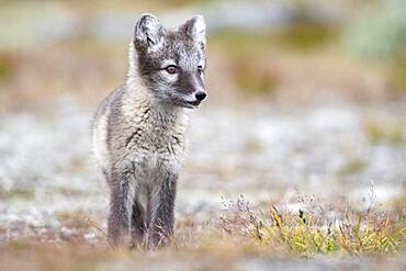 Young arctic fox (Vulpes lagopus), Dovrefjell-Sunndalsfjella National Park, Norway, Europe