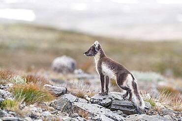 Arctic fox (Vulpes lagopus), Dovrefjell-Sunndalsfjella National Park, Norway, Europe