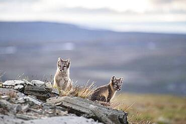 Young arctic foxes (Vulpes lagopus), Dovrefjell-Sunndalsfjella National Park, Norway, Europe