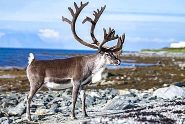 Reindeer (Rangifer tarandus) on the coast, Lyngenfjord, Northern Norway, Norway, Europe
