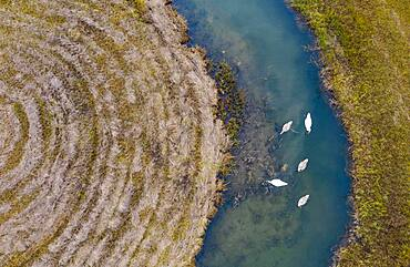 Natural course of the Zellerache river from the Irrsee with swans, wet meadow, from above, drone photo, aerial photo, Mondseeland, Salzkammergut, Upper Austria, Austria, Europe