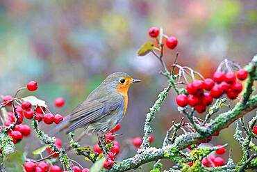 European robin (Erithacus rubecula) with hawthorn berries, Solms, Hesse, Germany, Europe