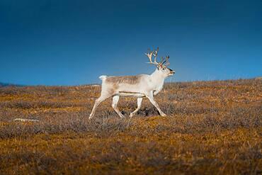 White reindeer, Skaidi, Finnmark, Norway, Europe