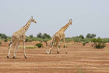 West African giraffes (Giraffa camelopardalis peralta) with young animal in dry landscape, Koure Giraffe Reserve, Niger, Africa