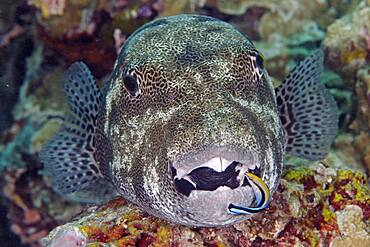 Star puffer (Arothron stellatus) and cleaner wrasse (Labroides dimidiatus), open mouth, Indo-Pacific Ocean