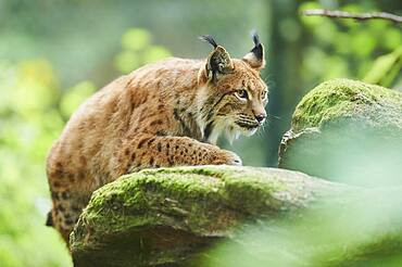 Eurasian lynx (Lynx lynx), staying in a forest, captive, Germany, Europe