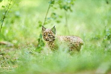 Eurasian lynx (Lynx lynx), kitten staying on the forestground, captive, Germany, Europe