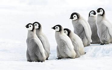 Sechs Kaiserkueken, Seis pingueinos Kaiser Chiks en la nieve