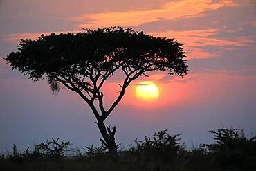 Sunrise behind umbrella acacia, savannah, Queen Elisabeth National Park, Uganda, Africa