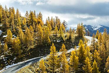 Autumn coloured larches, Nockalm Road, Nockberge, Biosphere Park Nockalm, Carinthia, Austria, Europe
