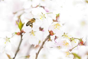 Honey bee (Apis mellifera) in flight in front of cherry blossoms (Prunus serrulata), Emsland, Lower Saxony, Germany, Europe
