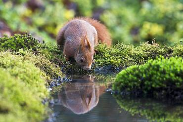 Eurasian red squirrel (Sciurus vulgaris) drinking at the water, Emsland, Lower Saxony, Germany, Europe