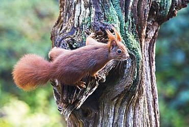 Eurasian red squirrel (Sciurus vulgaris) on a tree trunk, Emsland, Lower Saxony, Germany, Europe