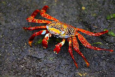 Red rock crab (Grapsus grapsus), also known as Sally Lightfoot, Floreana Island, Galapagos, Ecuador, South America