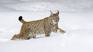 Eurasian lynx (Lynx lynx), running through deep snow, Sumava National Park, Bohemian Forest, Czech Republic, Europe