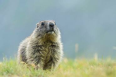 Young marmot (Marmota marmota) in the Alps, Hohe Tauern National Park, Austria, Europe