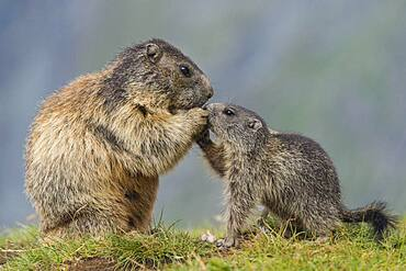 Marmot (Marmota marmota) with young in the Alps, Hohe Tauern National Park, Austria, Europe