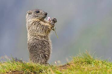 Young marmot (Marmota marmota) eating flower in the Alps, Hohe Tauern National Park, Austria, Europe