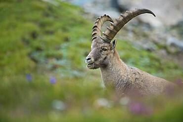 Alpine Ibex (Capra ibex), ibex, mountain, Alps, Hohe Tauern National Park, Austria, Europe
