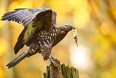 European honey buzzard (Pernis apivorus), on a tree trunk with prey, captive, Bavarian Forest National Park, Bavaria, Germany, Europe