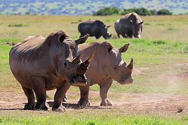 White rhinoceroses (Ceratotherium simum), group, Solio Ranch Wildlife Sanctuary, Kenya, Africa