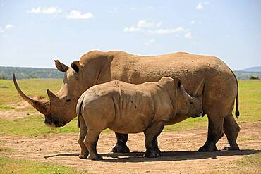 White rhinoceros (Ceratotherium simum), mother with young, Solio Ranch Wildlife Sanctuary, Kenya, Africa