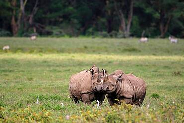 Two black rhinos (Diceros bicornis) grazing, pair, Lake Nakuru, Kenya, Africa