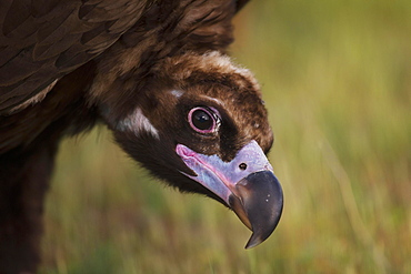Cinereous vulture (Aegypius monachus) portrait, endangered species, Extremadura, Spain, Europe