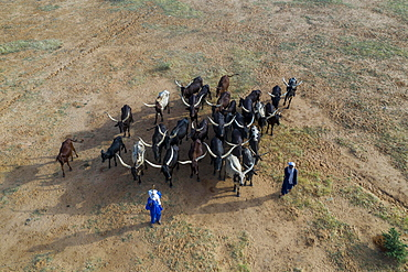Aerial view, Cattle herders with herd of cattle, Fula people, Niger, Africa